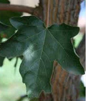 acermiyabeikw-3ami-leaf