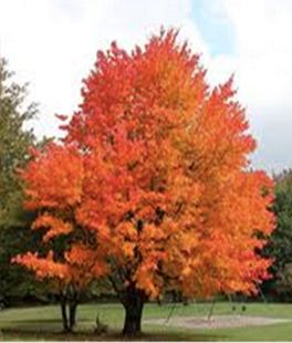 acermiyabeikw-3ami-tree