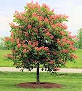 aesculusxcarneafortmcnair-tree