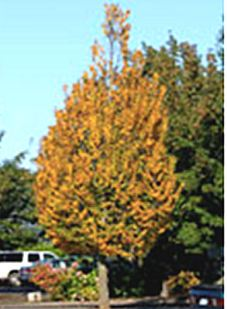 carpinusbetulusjfs-kw1cb-tree