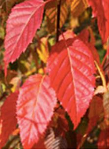 carpinuscarolinianajfs-kw6-leaf
