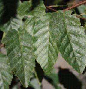 carpinuspalisade-leaf