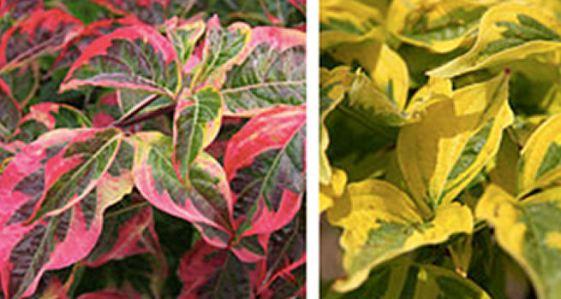 cornuscelestialshadow-leaf