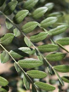 gleditsiatriacanthosdraves-leaf