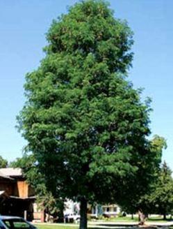 gleditsiatriacanthosdraves-tree