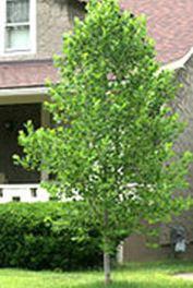 liriodendronlittlevolunteer-tree