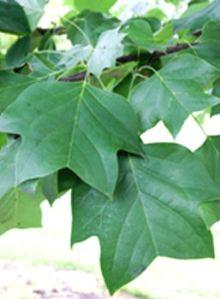 liriodendrontulipiferajfs-oz-leaf