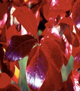 nyssawildfire-leaf1