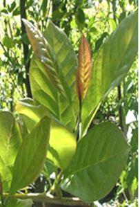 nyssawildfire-leaf2
