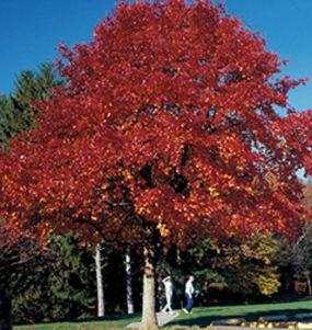 nyssawildfire-tree