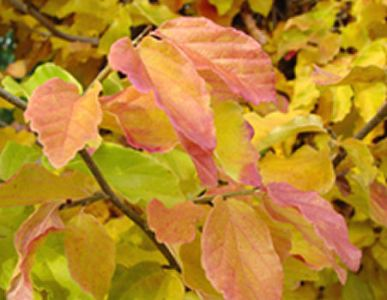 parrotiapersicavanessa-leaf