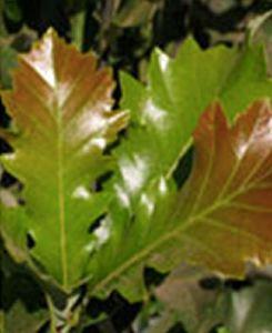 quercusbicolorbeacon-leaf