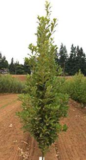 quercusbicolorbeacon-tree