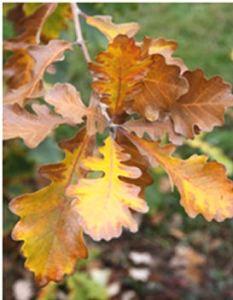 quercusmacrocarpajfs-kw3-leaf2