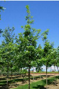 quercusmacrocarpajfs-kw3-tree