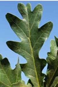 quercusroburxq.albacrimschmidt-leaf