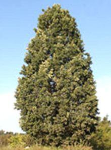 quercusroburxq.albacrimschmidt-tree1