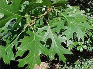 quercusshumardii-leaf