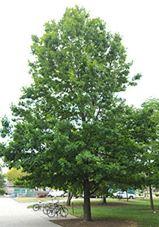 quercusshumardii-tree