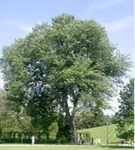 ulmusamerican anewharmony-tree