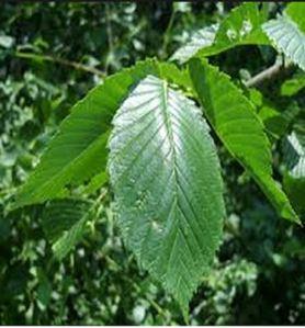 ulmusamericananewharmony-leaf