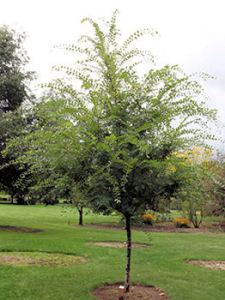ulmusparvifoliajfs-barrett-tree