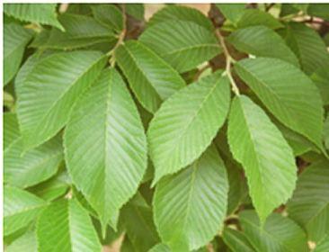 ulmusparvifoliavsnupf-leaf