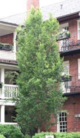 ulmusparvifoliavsnupf-tree1