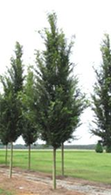 ulmusparvifoliavsnupf-tree2