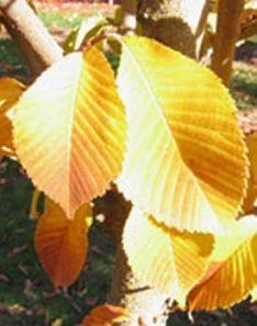 ulmuspropinquajfs-bieberich-leaf1