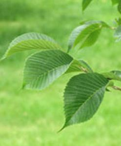 ulmuspropinquajfs-bieberich-leaf2