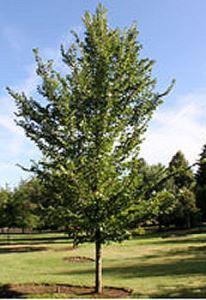 ulmuspropinquajfs-bieberich-tree