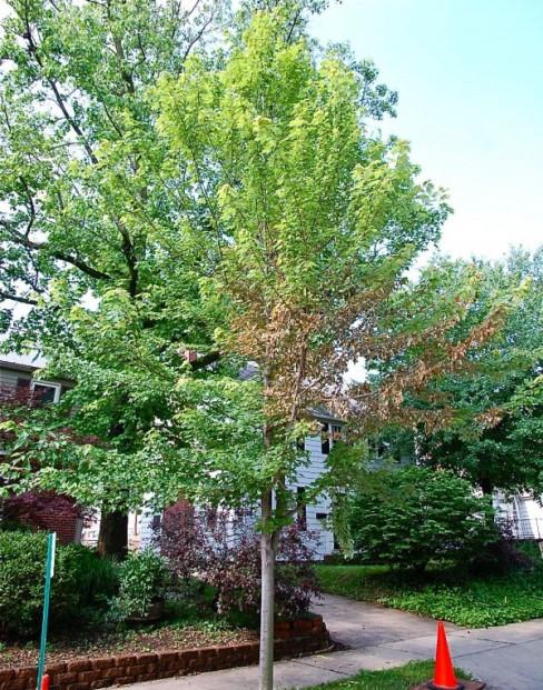 Lincoln street oak